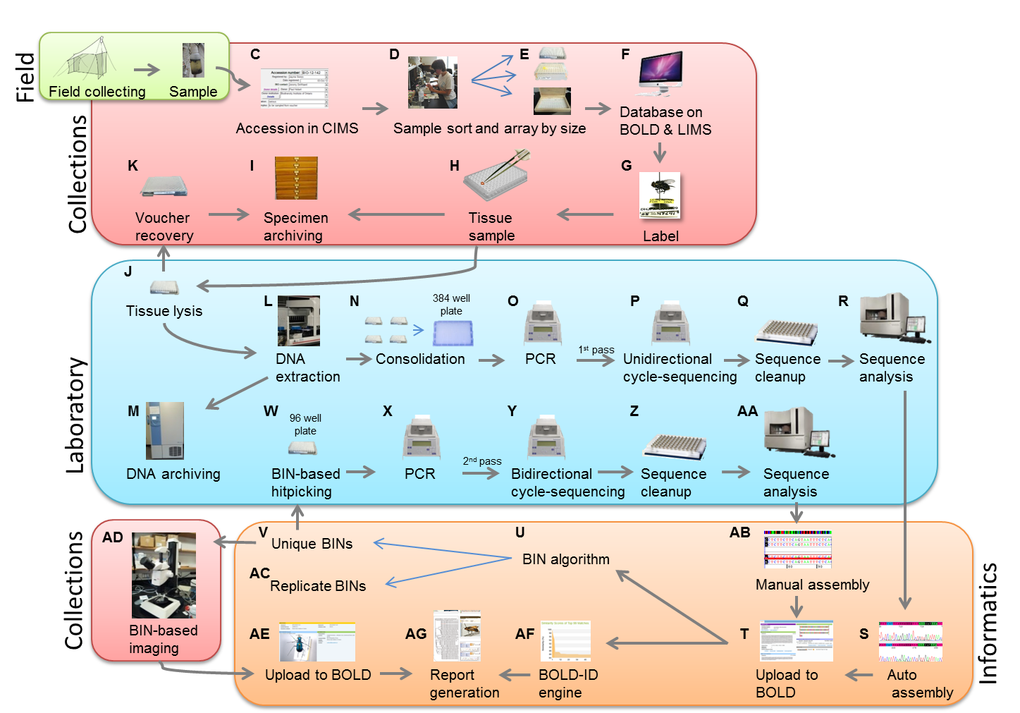 Schematic diagram showing specimen workflow. Front end processing begins with field collecting (A) and proceeds through to archiving of specimens (I). Laboratory analysis begins with tissue lysis (J) through to sequence analysis (AA). The informatics workflow includes both manual (AB) and auto sequence assembly (S), and finishes with BIN assignments and subsequent imaging of each BIN (AD).
